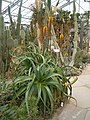 Aloe sessilifora BotGardDresden070219 HabitusInflorescenceB.jpg