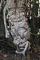 Aloe speciosa, Victoria Esplanade Park (6).jpg