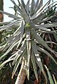 Aloe speciosa 1zz.jpg