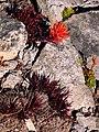 Alpine paintbrush (bc3dcce2497a4dceb87bd5832037d889).JPG