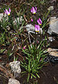 Alpine shooting star Dodecatheon alpinum.jpg