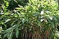 Alpinia zerumbet 31zz.jpg