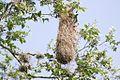Altamira Oriole nest-Santa Ana NWR-TX - 2015-05-12at16-19-04 (21597416492).jpg