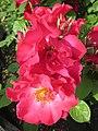 Alte Rosensorte - panoramio.jpg