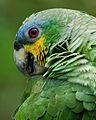 Amazona amazonica -near Yarina Lodge, Napo Province, Ecuador -head-8.jpg