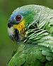 75px amazona amazonica  near yarina lodge, napo province, ecuador  head 8