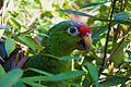 Amazona autumnalis -Panama -head-8a (2).jpg
