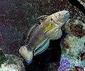 Amblygobius phalaena.jpg