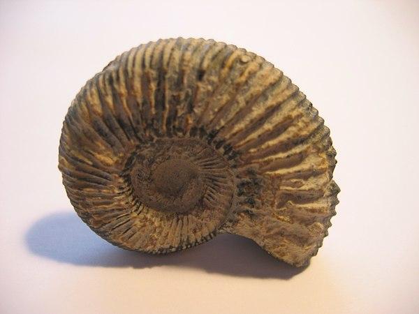 Sainte Marie aux mines 600px-Ammonite_cat
