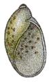 Amphibulima browni shell.png