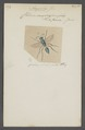 Ampulex - Print - Iconographia Zoologica - Special Collections University of Amsterdam - UBAINV0274 043 07 0031.tif