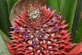 Ananas comosus-pineapple flowers - കൈതച്ചക്ക.jpg