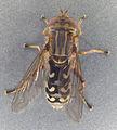 Anasimyia contracta, North Wales, July 2009 (17329961090).jpg