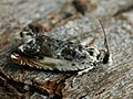 Ancylis laetana - Серпокрылая листовёртка осиновая (40543989964).jpg