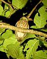 Andaman Hawk Owl 01.jpg