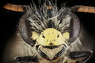 Andrena - Image: Andrena nida, m, face, Montgomery Co 2015 12 01 11.55 (24641006220)