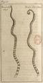 Andry - De la génération des vers (1741), planche p. 61.png
