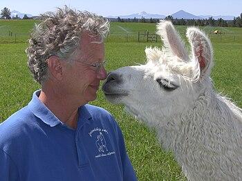 English: Andy Tillman at his llama ranch near ...