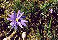 Anemone blanda 1.jpg