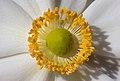 Anemone hupehensis var. japonica-bloom-stamen front-f20 PNr°0603.jpg