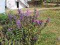 Angelonia angustifolia (4203127108).jpg