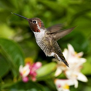 Male Anna's Hummingbird (Calypte anna) in-flig...