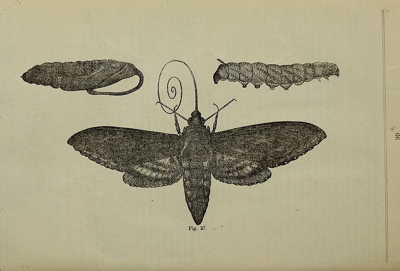 File:Annual report - Entomological Society of Ontario (1881) (18432020041).jpg