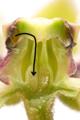 Antelope Horns pollen tube.png