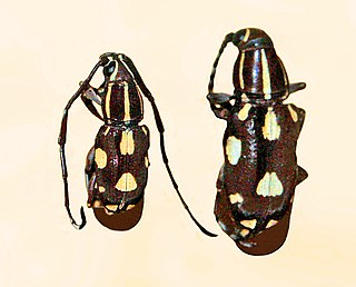 <i>Xenocerus lacrymans</i> Species of beetle