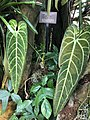Anthurium warocqueanum at Conservatory of Flowers.jpg