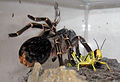 Aphonopelma-seemanni-with-Grasshopper.jpg