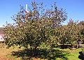 Apple Tree (10115718135).jpg