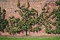 Apple Tree - geograph.org.uk - 229792.jpg