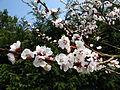 Apple tree flowers .jpg