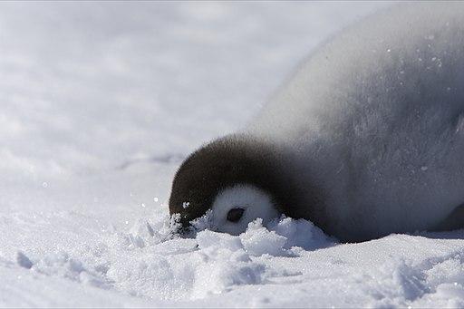 Aptenodytes forsteri -Snow Hill Island, Antarctica -juvenile-8b