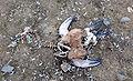 Aptenodytes patagonicus (juvenile dead).jpg