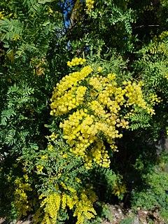 <i>Acacia pubescens</i> species of plant