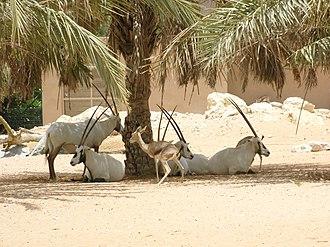Arabian oryx - In Al Ain Zoo in the Eastern Region of the Emirate of Abu Dhabi, the UAE