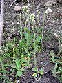 Arabidopsis thaliana habito.jpg