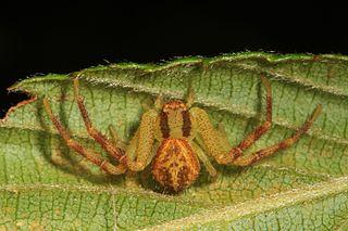<i>Mecaphesa asperata</i> species of arachnid