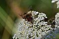 Araignées, insectes et fleurs de la forêt de Moulière (Les Agobis) (28942565171).jpg