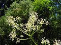 Aralia californica flower.jpg