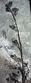 Archaeopteris cf. Archaeopteris halliana fossil land plant (Devonian; Quebec, Canada) 1 (15518557911).jpg