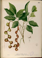 Archidendron scutiferum Blanco2.438-original.png