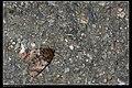 Arcte coerula (17545637623).jpg