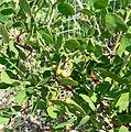 Arctostaphylos manzanita 1.jpg