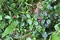 Arctostaphylos uva-ursi - img 29731.jpg