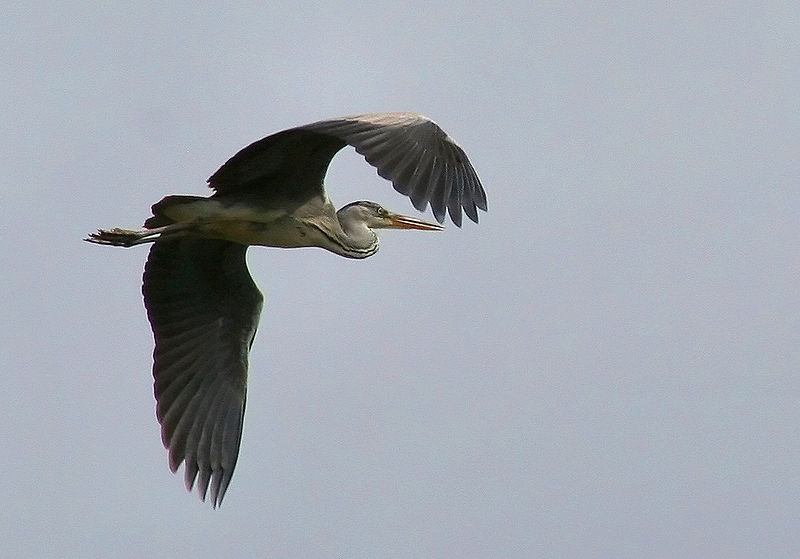 طائر مالك الحزين 800px-Ardea_cinerea_in_flight_Jojo_A