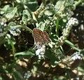 Aricia cramera (Southern Brown Argus). - Flickr - gailhampshire.jpg
