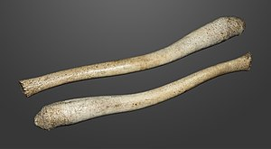 Baculum - Walrus baculum, around 22 inches (59 cm) long
